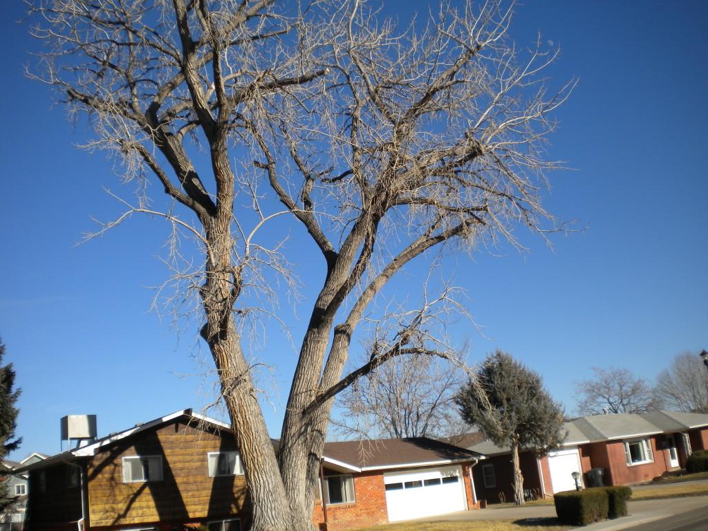 three mega-trees
