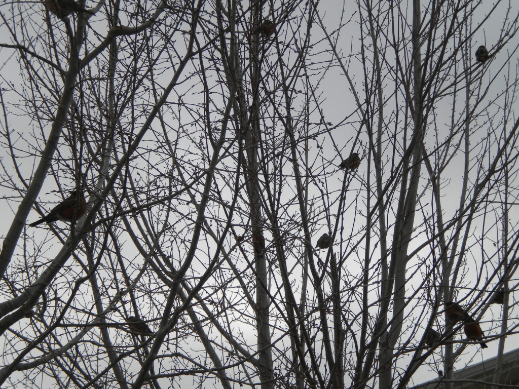 A bunch of robins... but no Spring