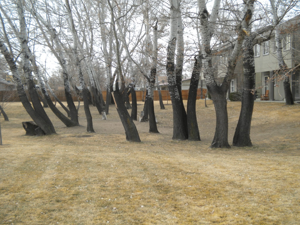 Interesting grove of trees between two apartment complexes