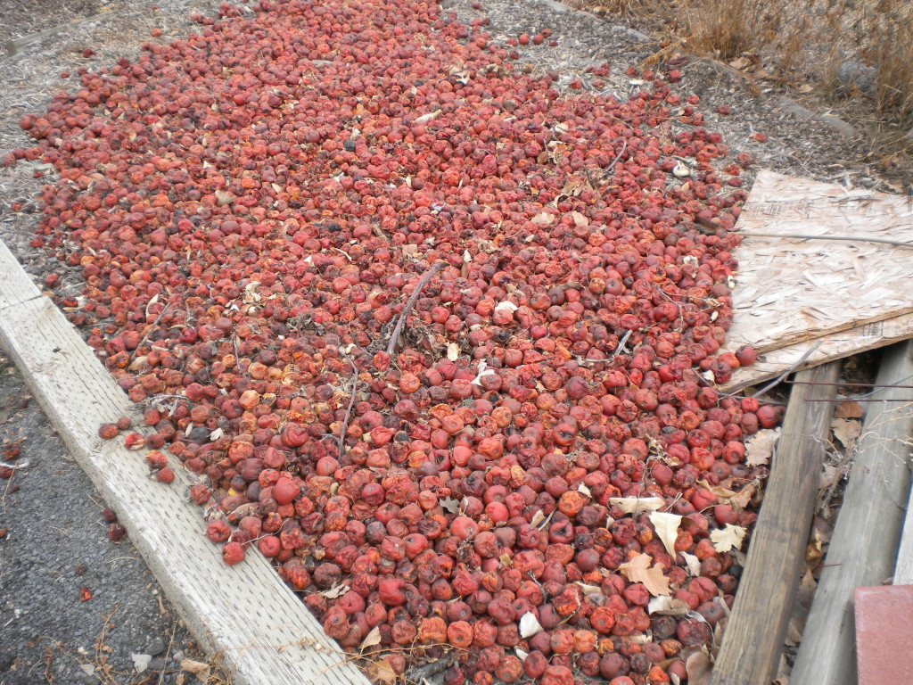 where unwanted apples go to die