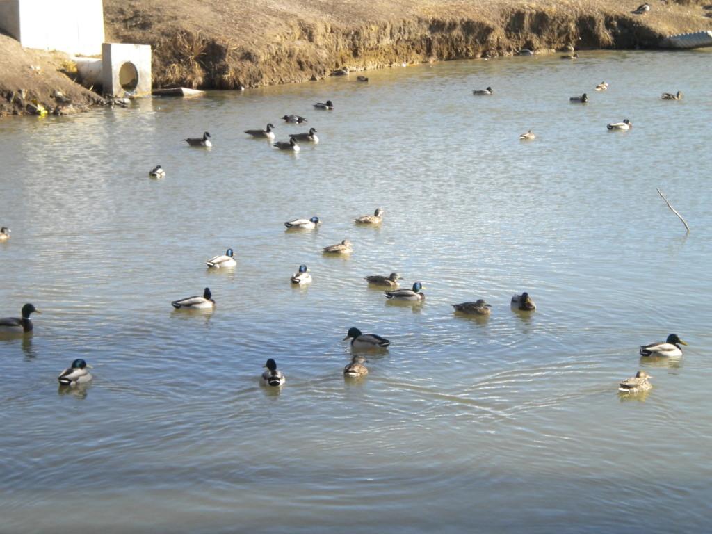 Over 100 ducks at Spangler Park