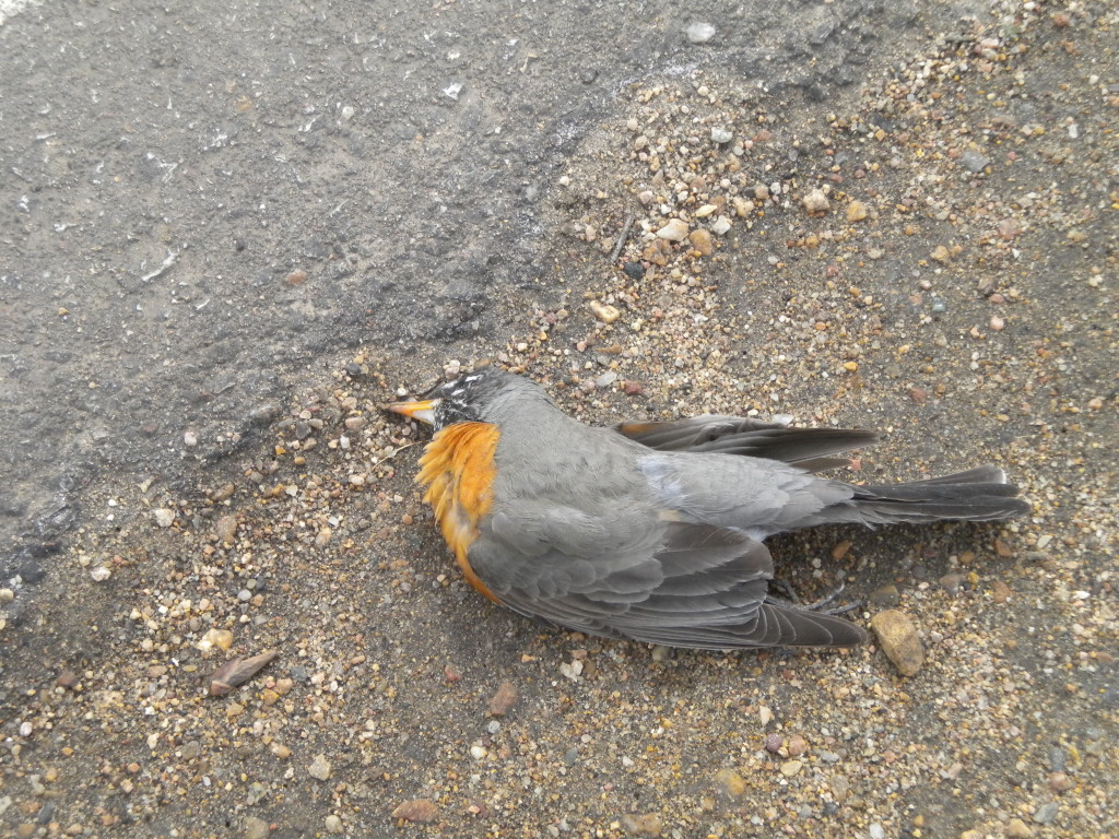sadly, neither did this robin