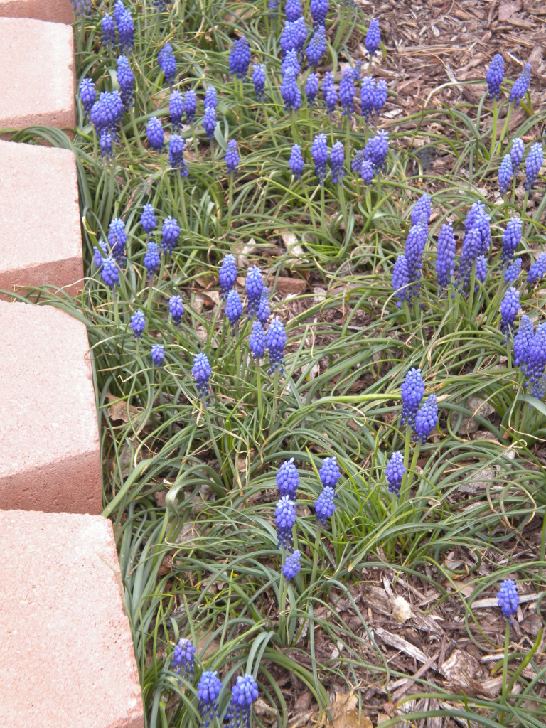 Grape hyacinth?