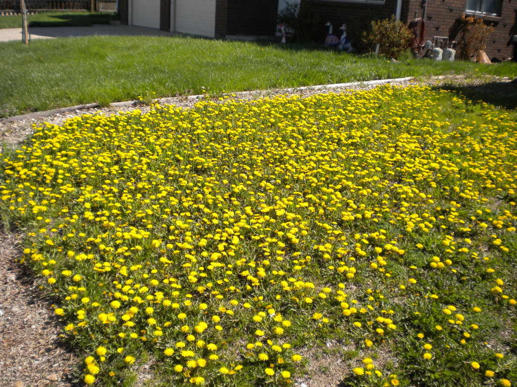 the dandelions are always yellower on the other side of the fence