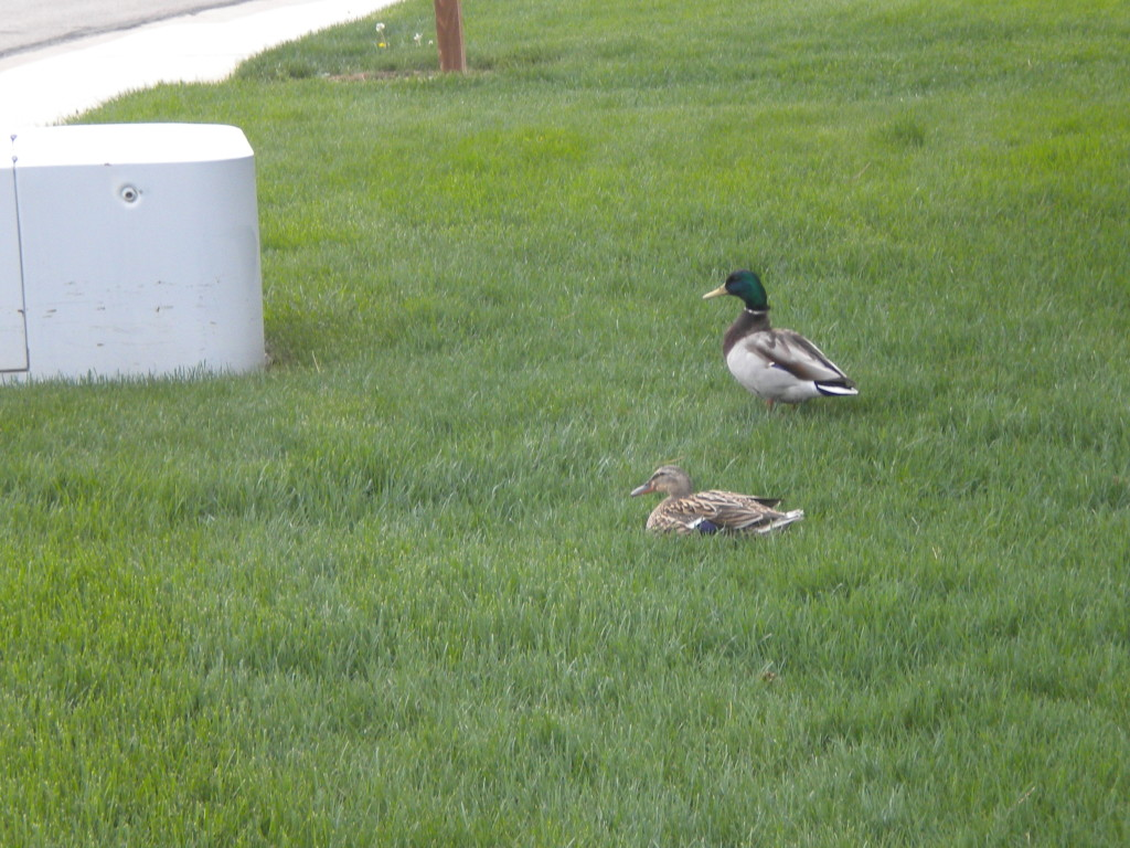 two ducks on  a front lawn far from water
