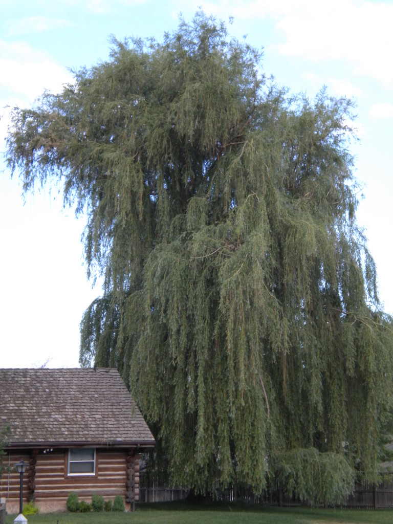 Giant weeping willow by log cabin