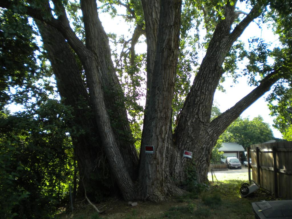 GIANT tree(s?)
