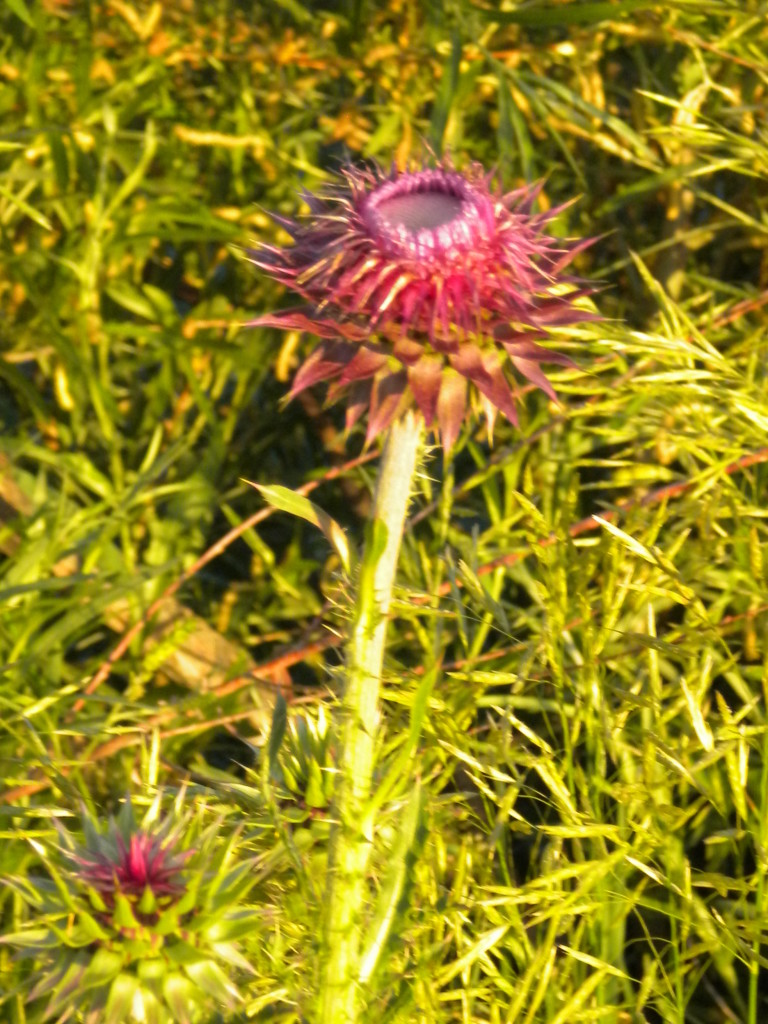 Musk  Thistle (?)
