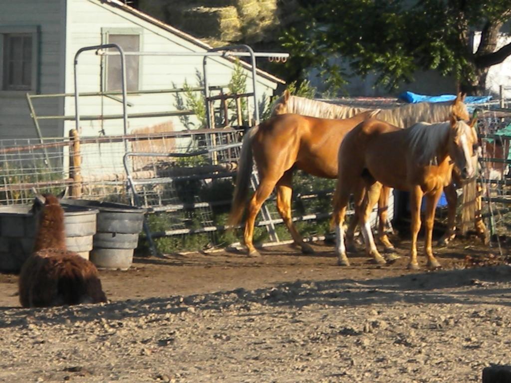 north of Hwy 66; 2 horses and a llama