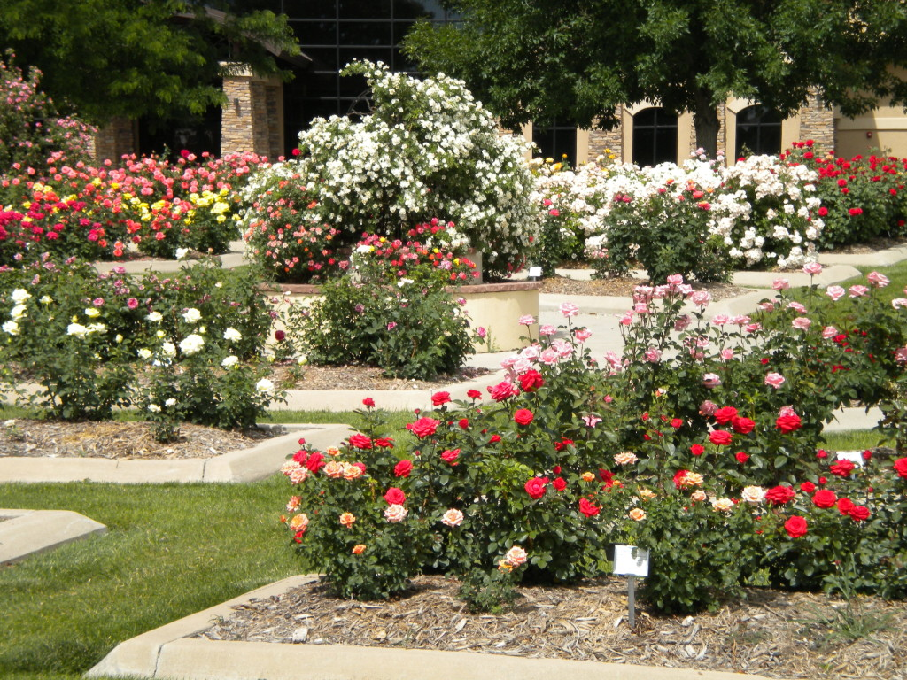 just a small part of the rose garden