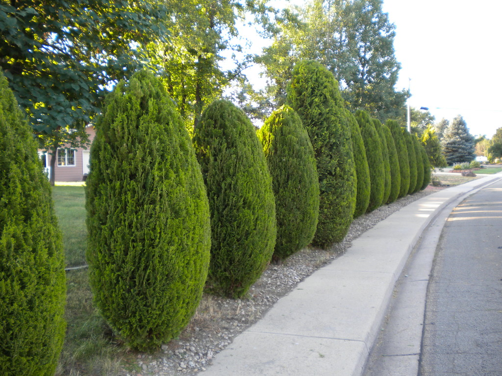 nicely trimmed row of trees