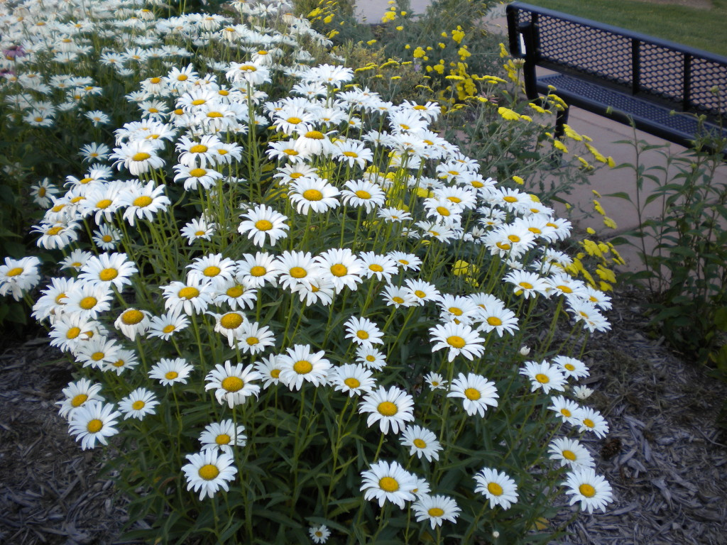 Daisies at Raber