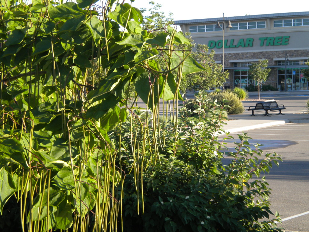 Dollar Tree and string-bean tree