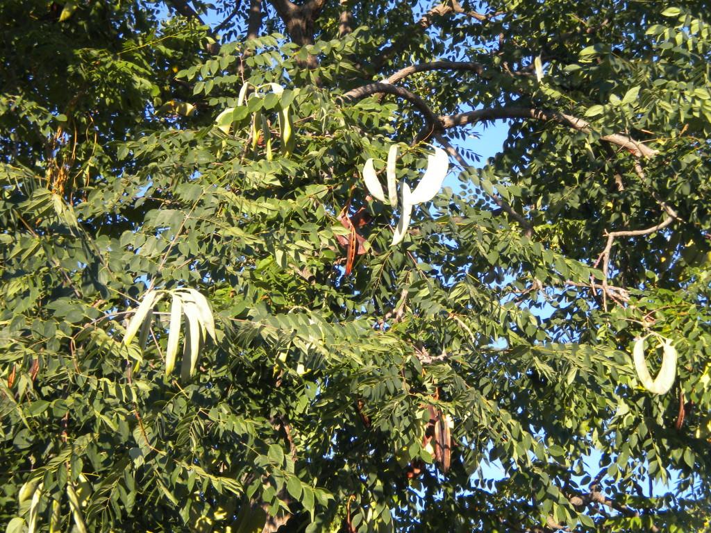 Tree along 17th # 1