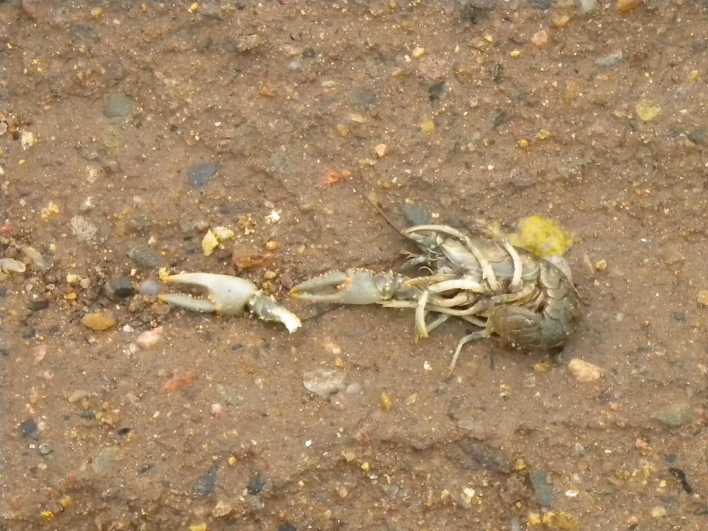 dead crawdad