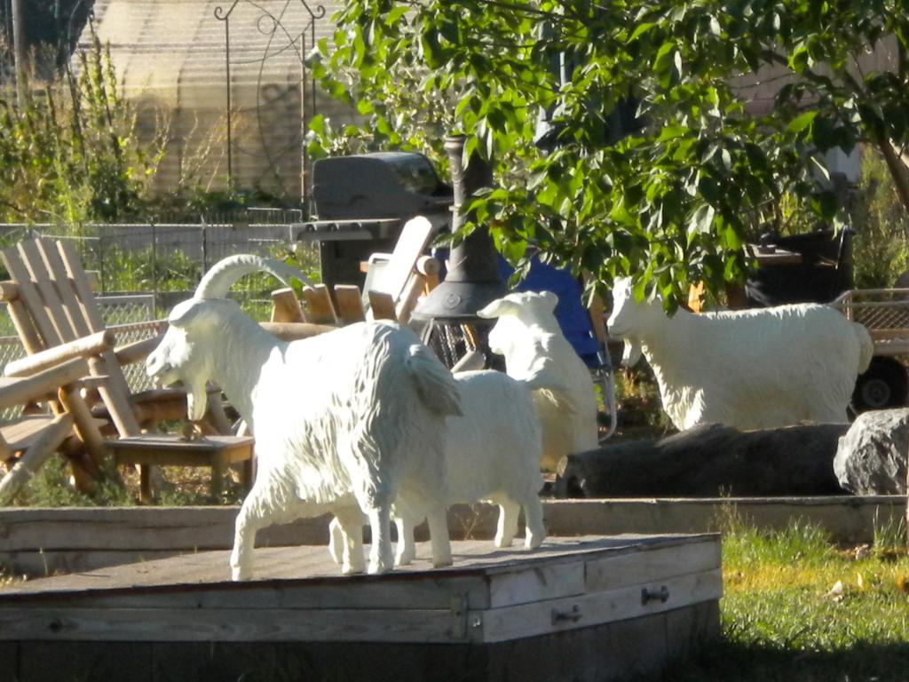 more goats?