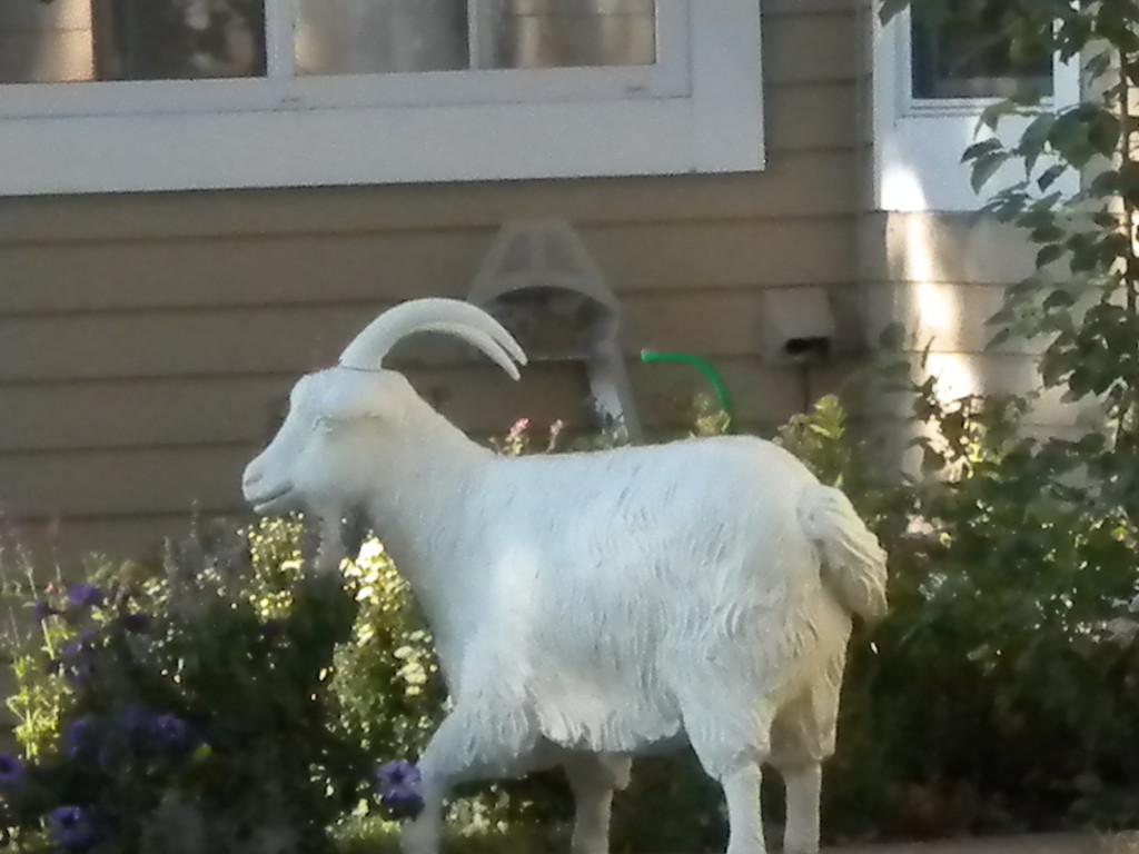 goat?