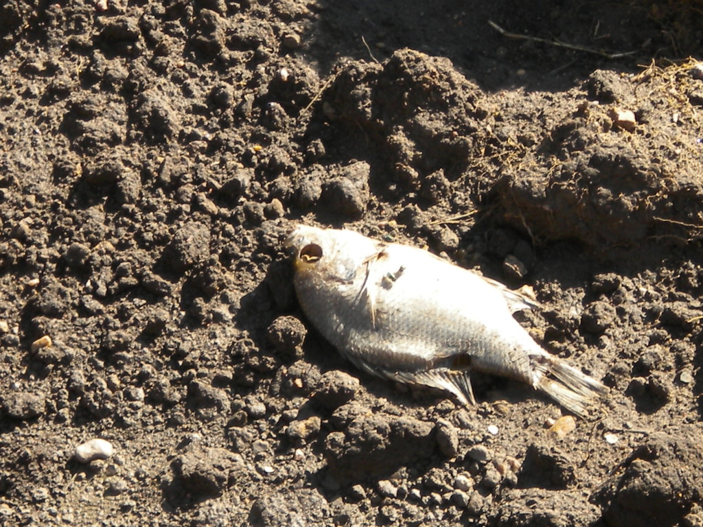 poor fish ended up several hundred yards south of the river