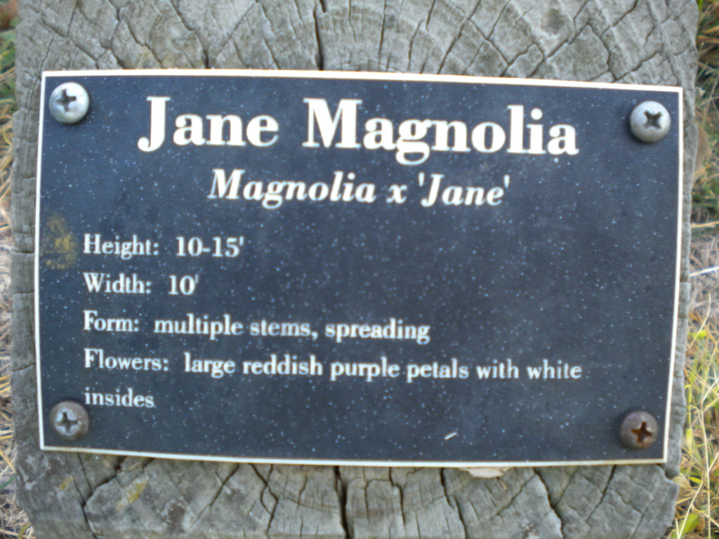 I guess 'Jane' is a type of magnolia