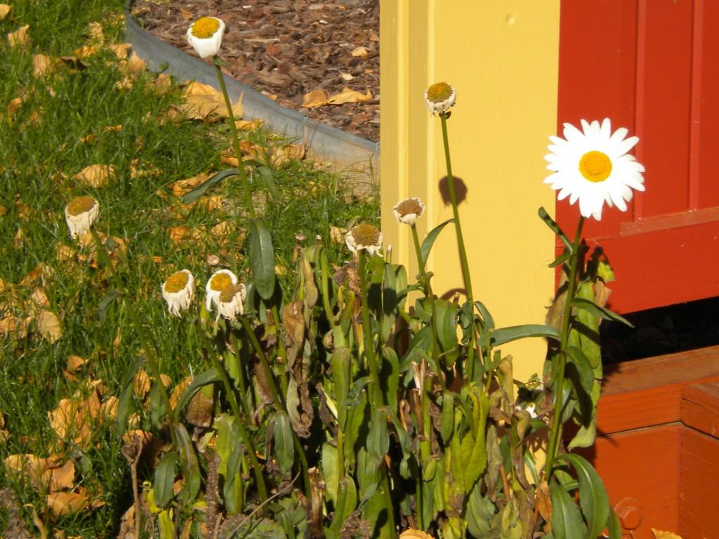 One tough daisy is still fresh as a daisy
