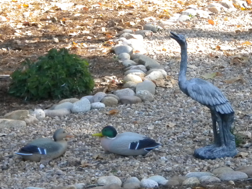 local water fowl