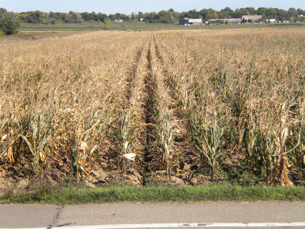 corn rows east of 95th (Hover)