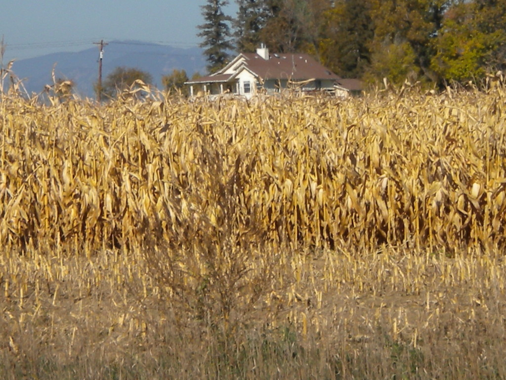 partially harvested cornfield and farmhouse to the north