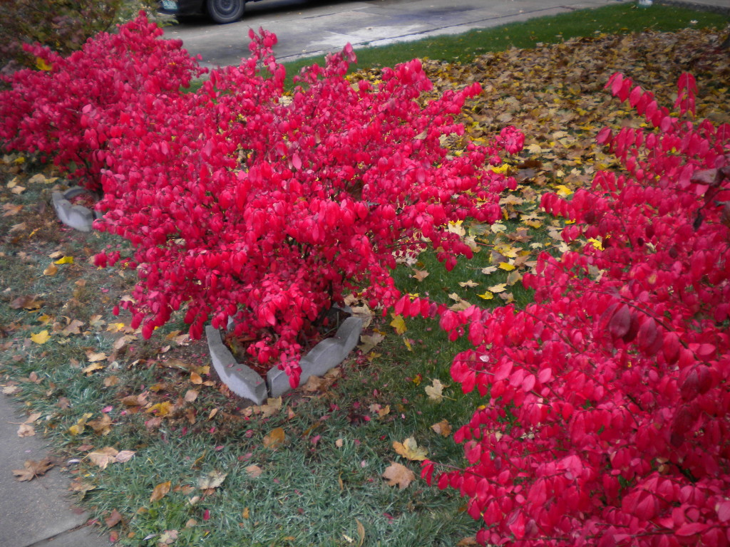 two red bushes