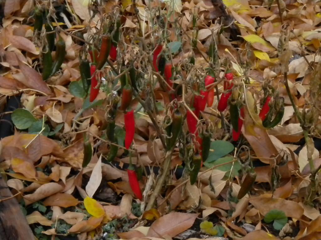 unpicked peppers....
