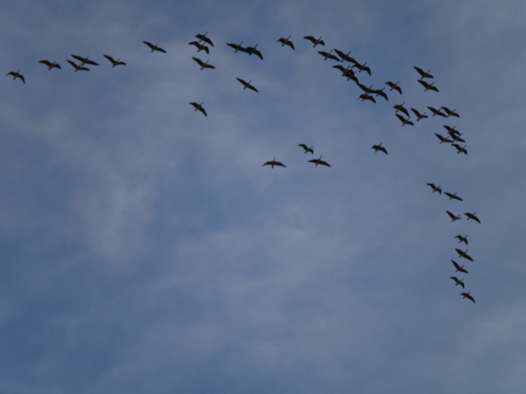 Geese # 1