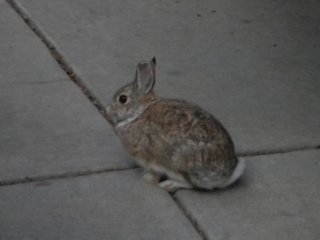 there were TONS of rabbits around... area is surrounded by farmland