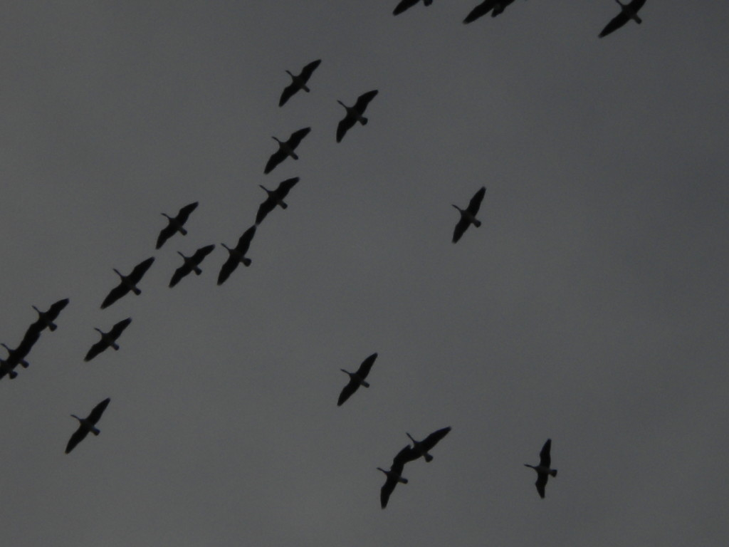 Geese # 2