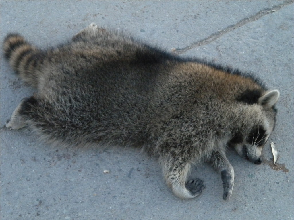Unhappy Raccoon... tried to cross Boston Avenue